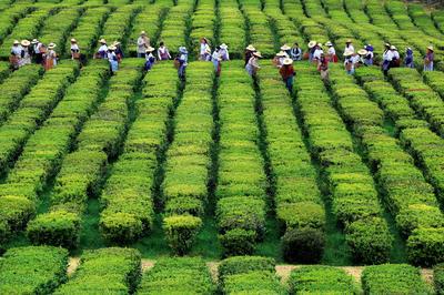 Azori-szigetek - Teaültetvény